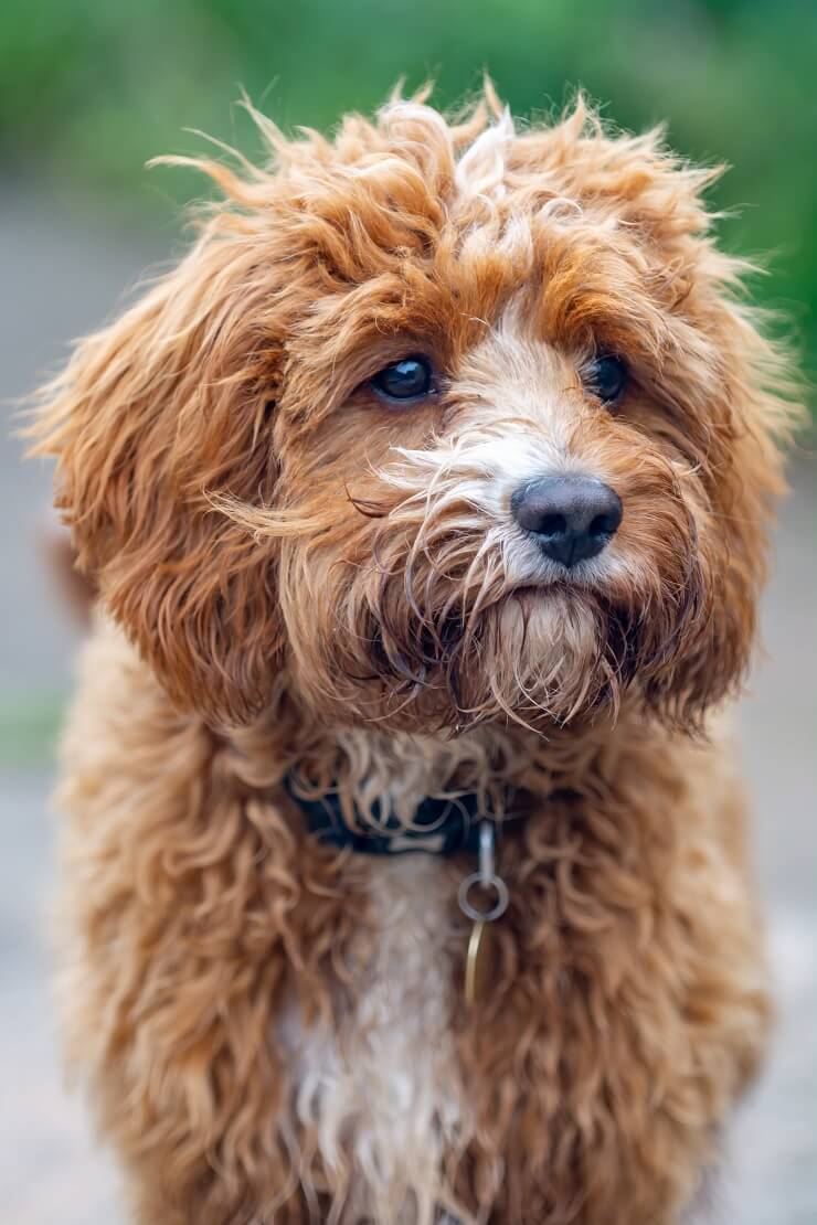 Cavapoo What To Know About This Stunning Family Dog Perfect Dog Breeds