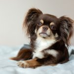 long hair chihuahua on bed