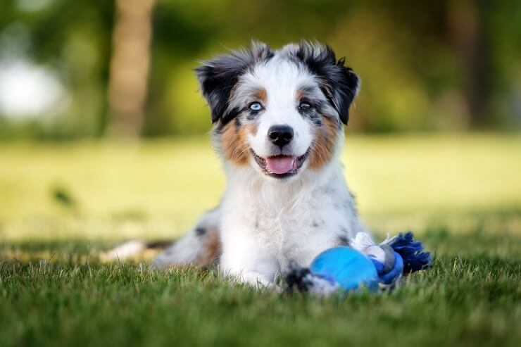 A Mini Australian Shepherd With Toy
