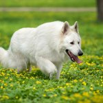 All White German Shepherd
