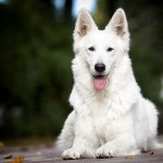An All White German Shepherd