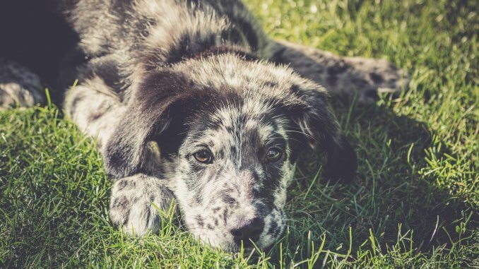 Australian Shepherd Lab Mix 5 Must Know Facts Before Buying Cover
