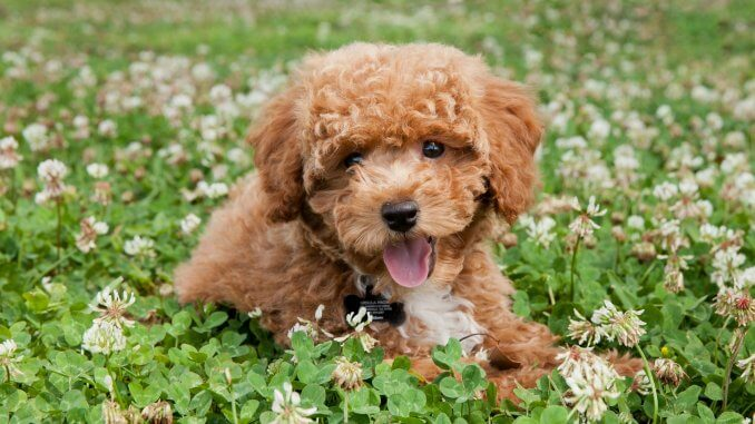 Bichon Poodle The Perfect Teddy Bear Mix? Banner