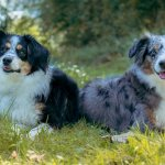 Blue Merle Mini Australian Shepherd