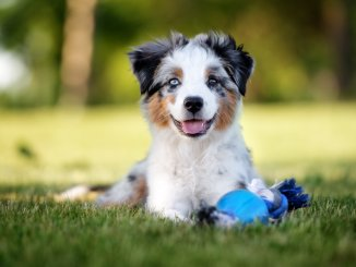 Complete Mini Australian Shepherd Guide 6 Must Read Facts Cover