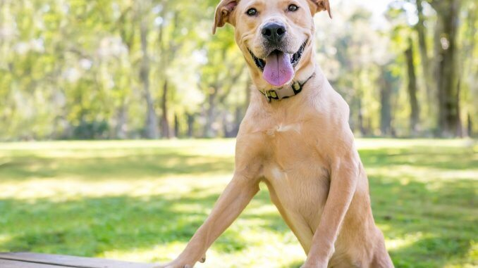 Golden Retriever Pitbull Mix Dog Breed Information and Owner's Guide Cover
