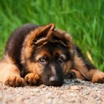 Miniature German Shepherd Lying Down