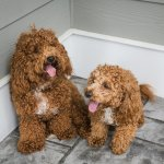 Pair of Bichon Poodles
