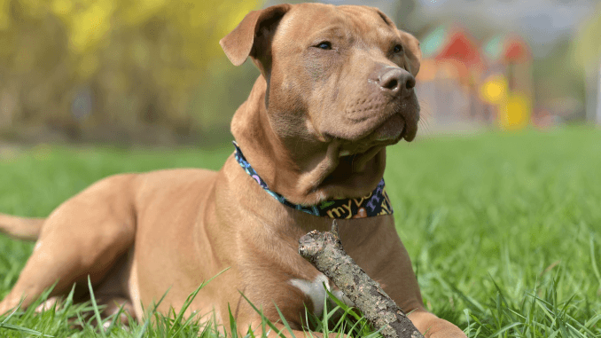 Red Nose Pitbull Dog Breed Information and Owner's Guide