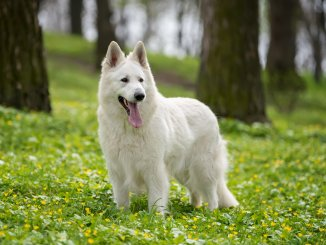 Ultimate White German Shepherd Care Guide 6 Must Know Tips Cover