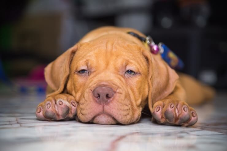 Red Nose Pitbull: Dog Breed Information and Owner's Guide ...