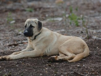 Anatolian Shepherd Breed Info The Ultimate Livestock Guardian? Cover