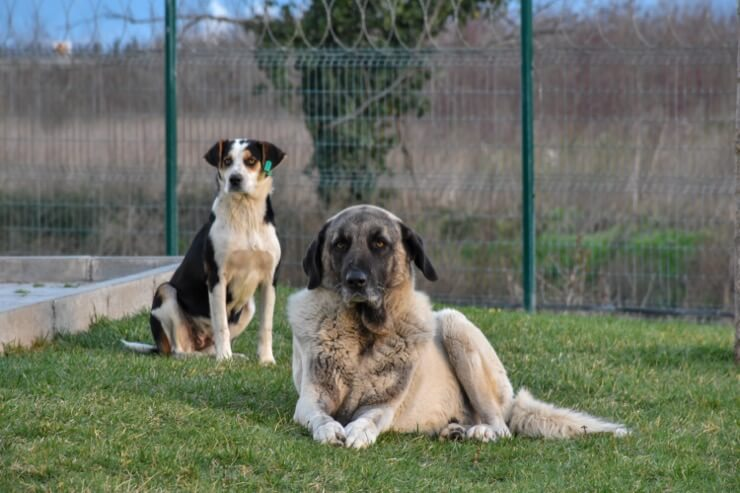 Anatolian Shepherd With Collie