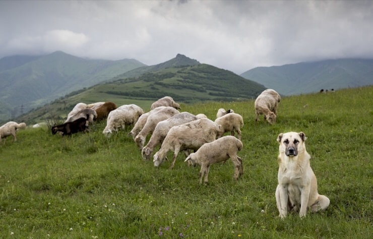 Anatolian Shepherd Working