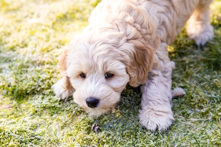 Australian Labradoodle 9 Things To