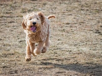 Australian Labradoodle 9 Things To Know Before Getting One