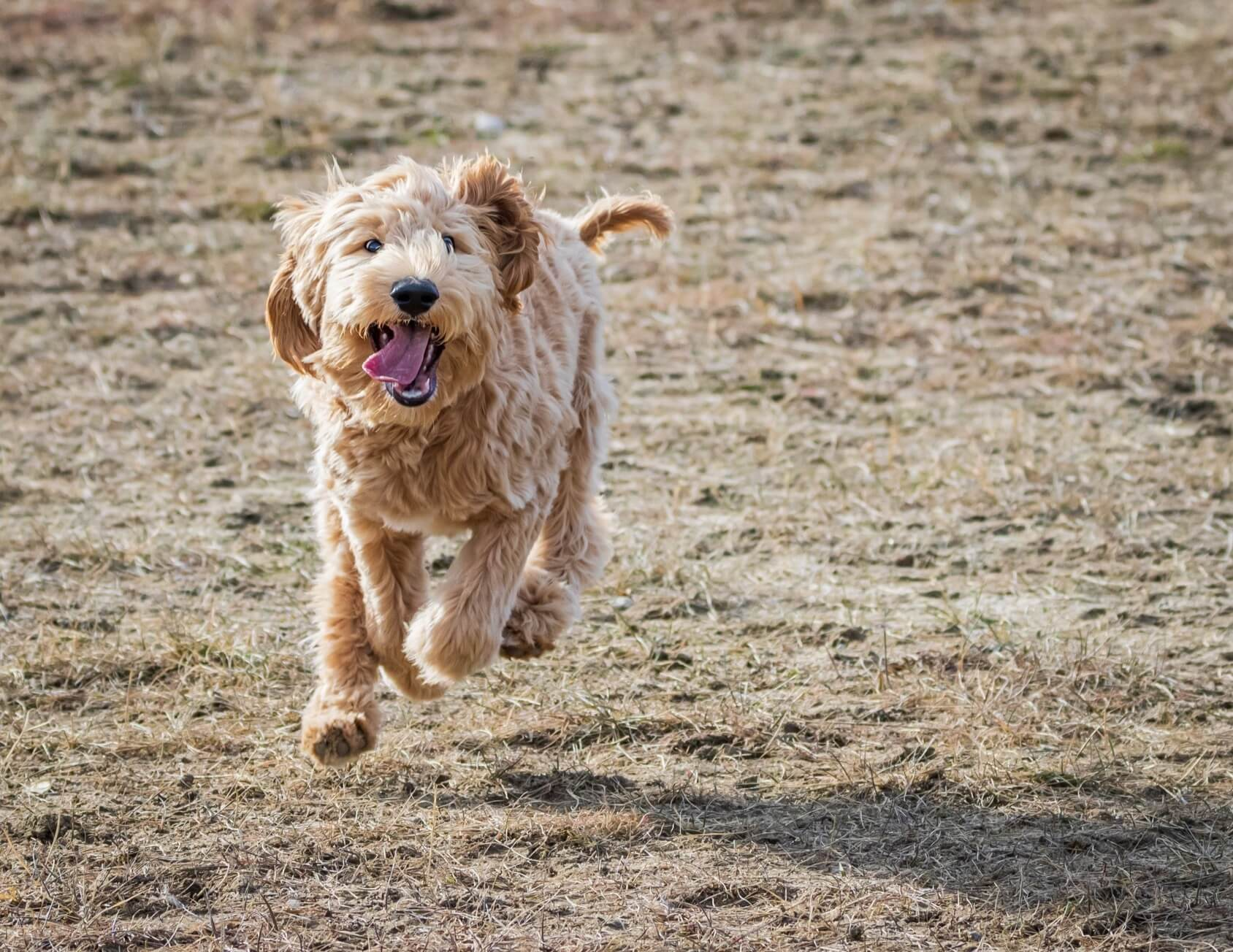 Australian Labradoodle 9 Things To Know Before Getting One Perfect Dog Breeds