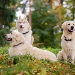 Golden Retrievers And A Husky