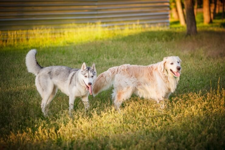 Husky And Golden Retriever