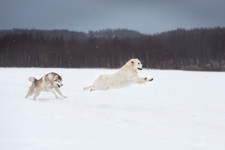 Husky Chasing Golden Retriever