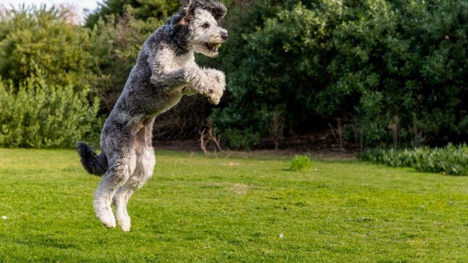 Husky Poodle Mix 9 Things To Know Before Buying Cover