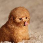 Miniature Teacup Poodle