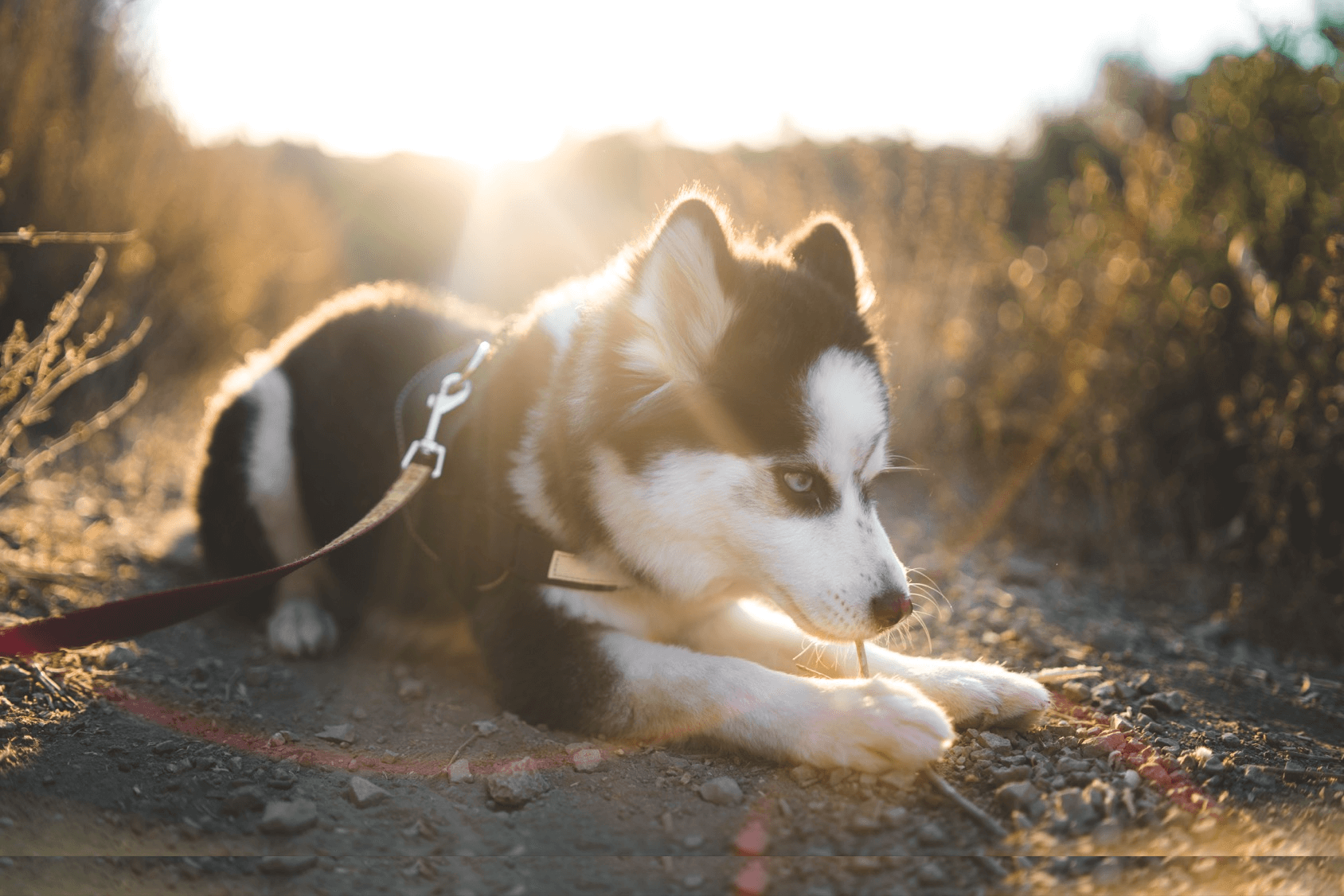 Pomeranian Husky Breed Info Price Size And More Perfect Dog Breeds
