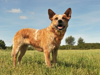 Red Heeler Breed Info Can You Handle This Canine Cowboy? Cover