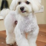 Teacup Maltese Haircut