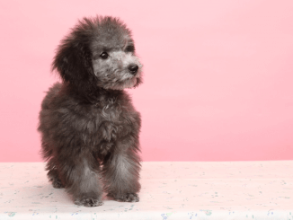 Teacup Poodle Breed Profile Size, Temperament, Health and More Cover