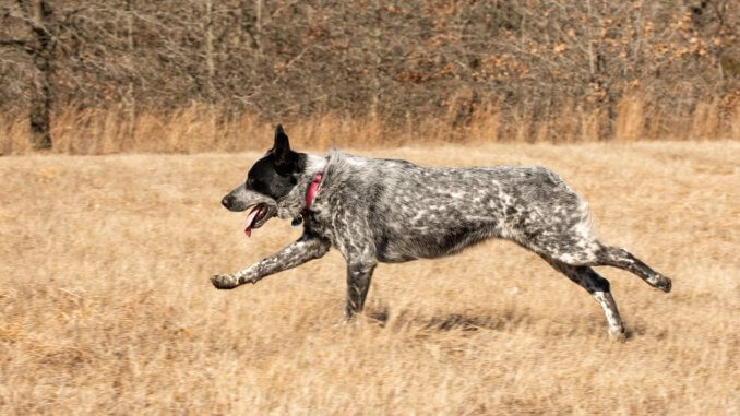 Texas Heeler Breed Info A Friendly Farmhand From The Southwest Cover