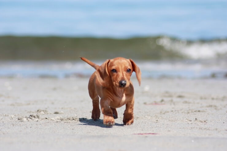A Dachshund On A Beech