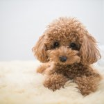 A Red Toy Poodle