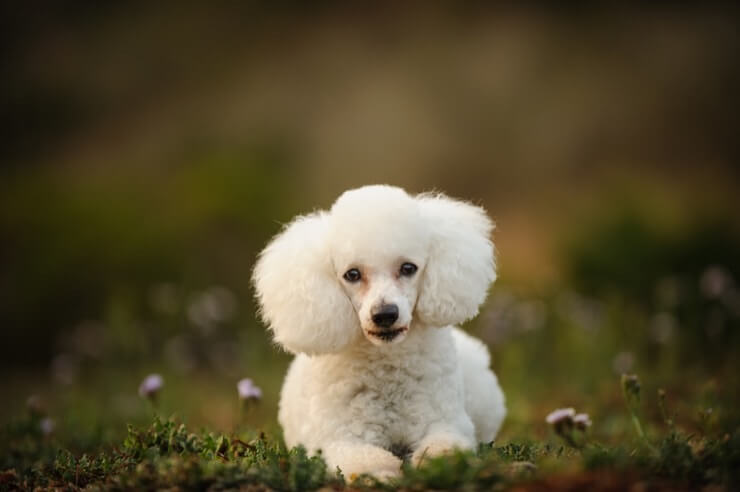 A White Toy Poodle