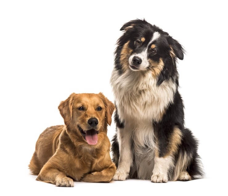 Australian Shepherd Golden And Retriever