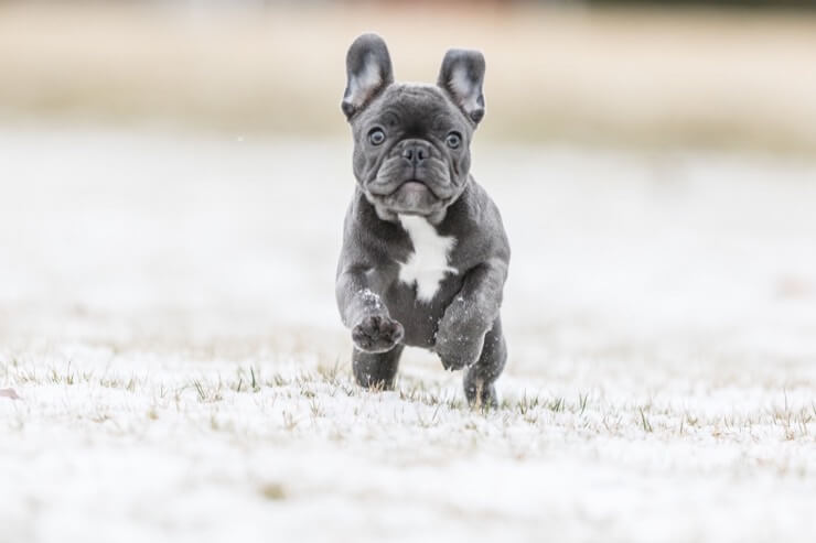 Blue French Bulldog Breed Info 5 Must