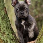 Blue Frenchie Outside