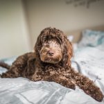 Cockapoo Dog On Bed