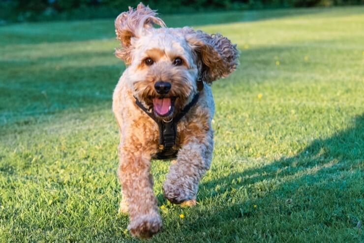Cockapoo Running