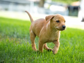 Dachshund Lab Mix 7 Fun Facts You Need To Know Cover