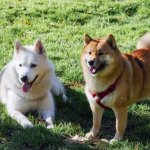 Husky And Chow Chow