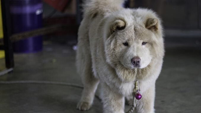 Husky Chow Mix What To Know Before Buying A Chusky Cover