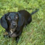 Lab Dachshund Mix