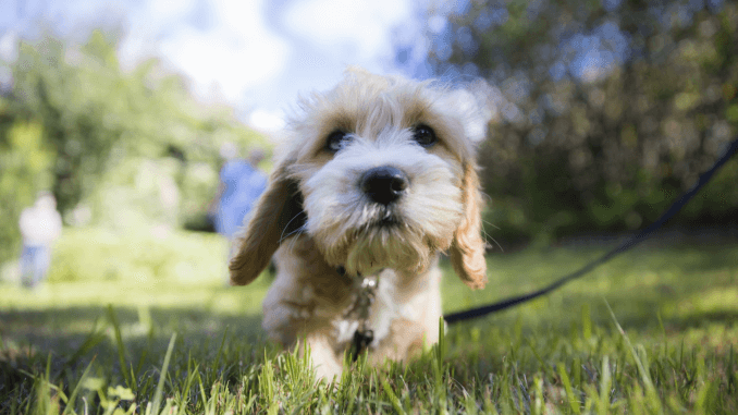 Maltese Poodle Mix Breed Profile The Ultimate Apartment Dog Banner