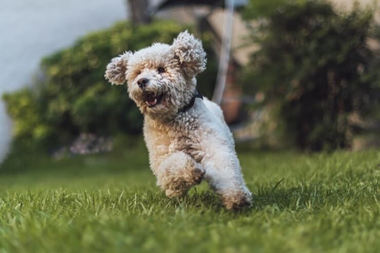 Toy Poodle Running Outside