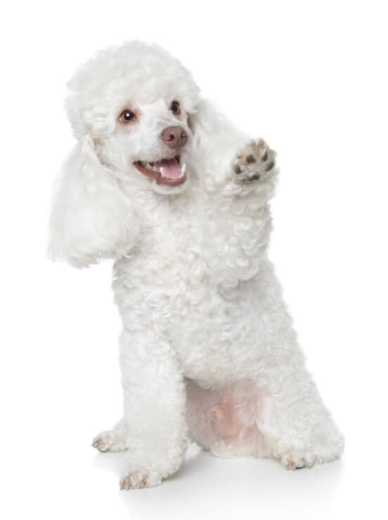 Training A Toy Poodle