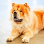 A Chow Chow Lying Down