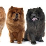 All Colors Of Chow Chow