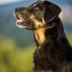 An Old German Shepherd Rottweiler Mix