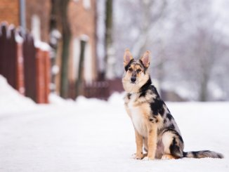 Australian Shepherd German Shepherd Mix 7 Must Read Facts Cover